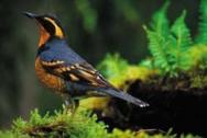 Varied Thrush on moss c