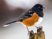 BOTM: Spotted Towhee